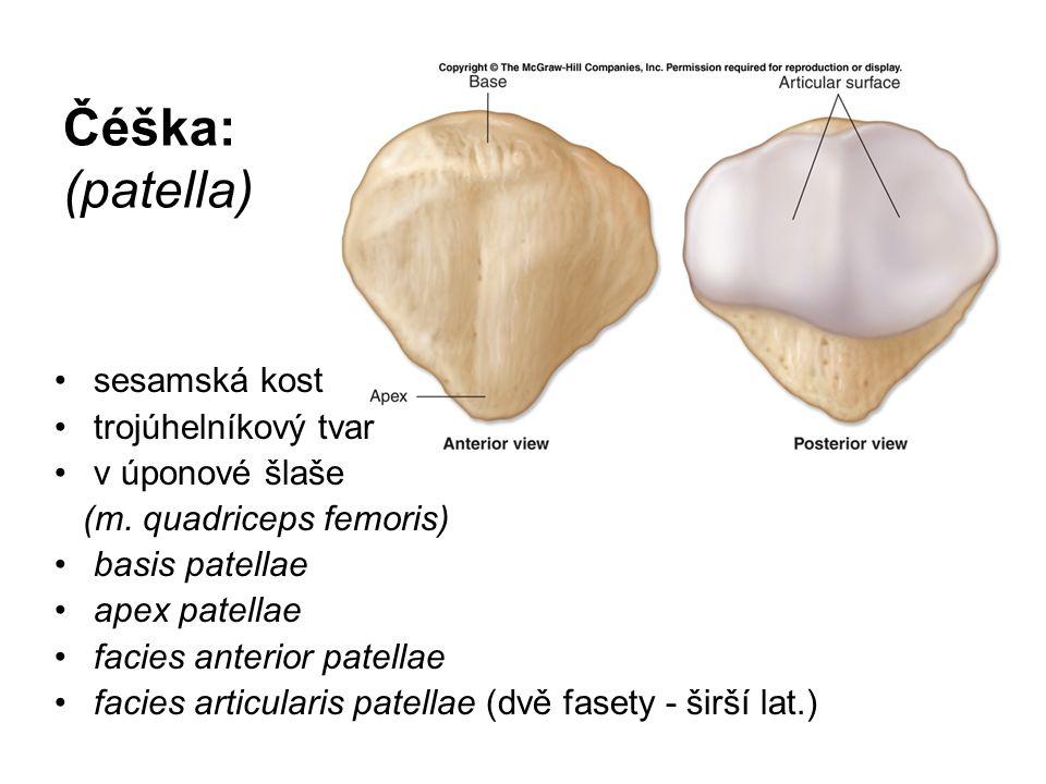 Čéška: (patella) sesamská kost trojúhelníkový tvar v úponové šlaše (m. quadriceps femoris) basis patellae apex patellae facies anterior patellae facie