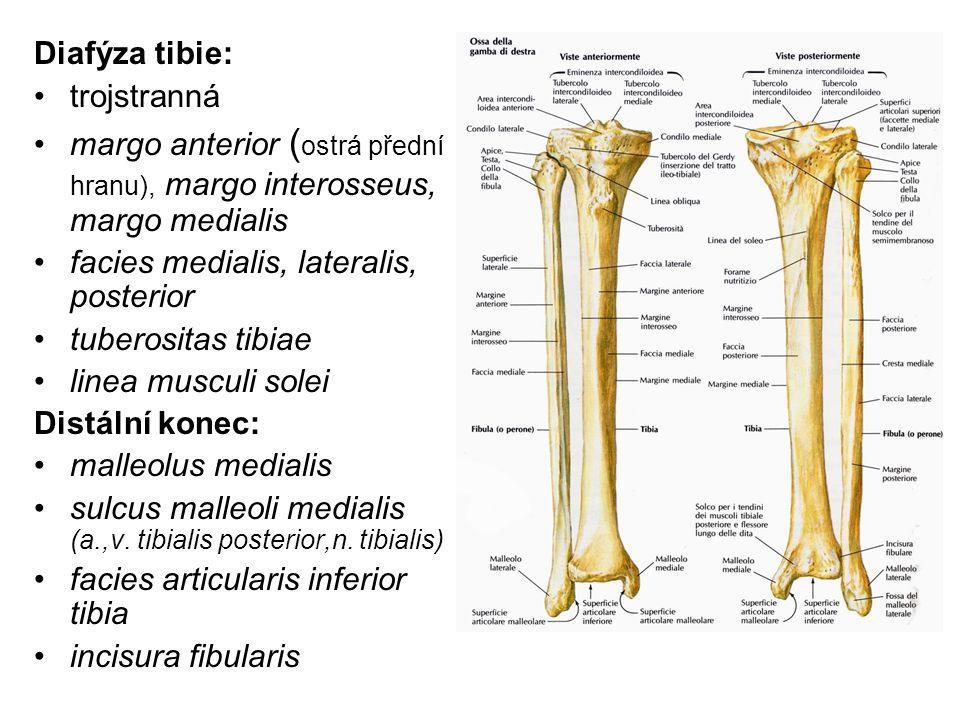 Diafýza tibie: trojstranná margo anterior ( ostrá přední hranu), margo interosseus, margo medialis facies medialis, lateralis, posterior tuberositas t