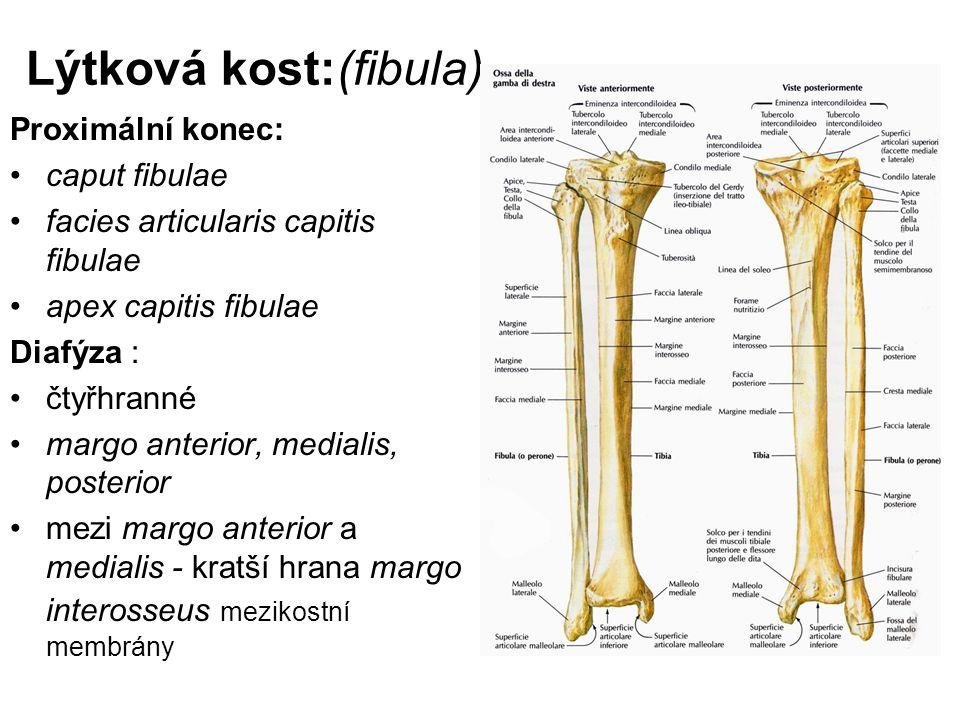 Lýtková kost:(fibula) Proximální konec: caput fibulae facies articularis capitis fibulae apex capitis fibulae Diafýza : čtyřhranné margo anterior, med