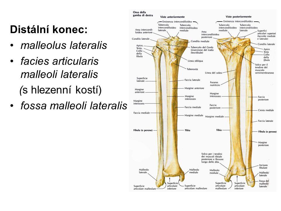 Distální konec: malleolus lateralis facies articularis malleoli lateralis (s hlezenní kostí) fossa malleoli lateralis
