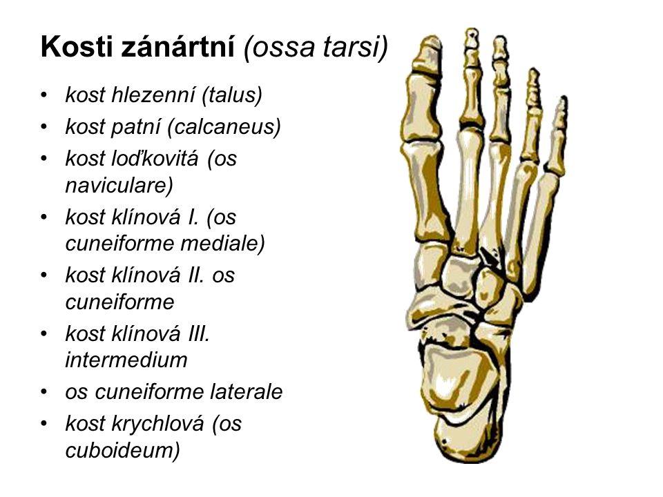 Kosti zánártní (ossa tarsi) kost hlezenní (talus) kost patní (calcaneus) kost loďkovitá (os naviculare) kost klínová I. (os cuneiforme mediale) kost k