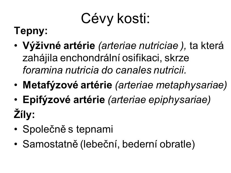 Cévy kosti: Tepny: Výživné artérie (arteriae nutriciae ), ta která zahájila enchondrální osifikaci, skrze foramina nutricia do canales nutricii. Metaf