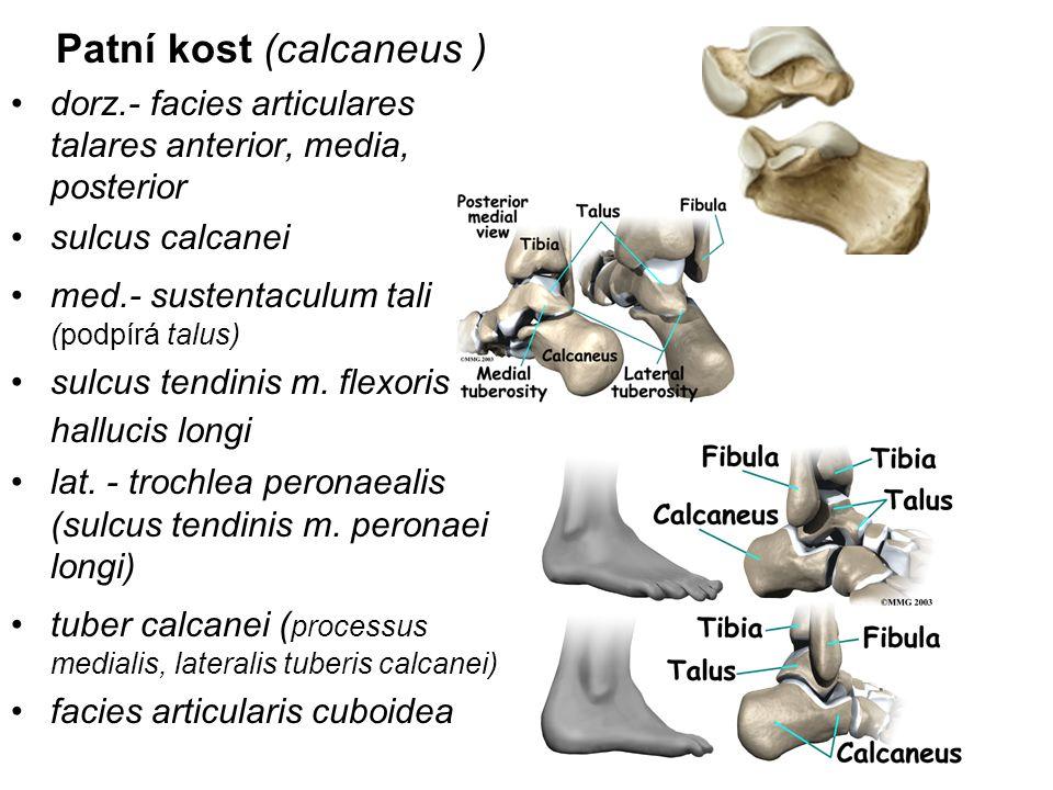 Patní kost (calcaneus ) dorz.- facies articulares talares anterior, media, posterior sulcus calcanei med.- sustentaculum tali (podpírá talus) sulcus t