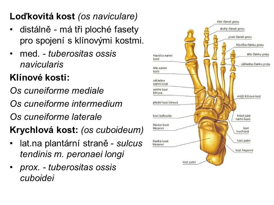 Loďkovitá kost (os naviculare) distálně - má tři ploché fasety pro spojení s klínovými kostmi. med. - tuberositas ossis navicularis Klínové kosti: Os