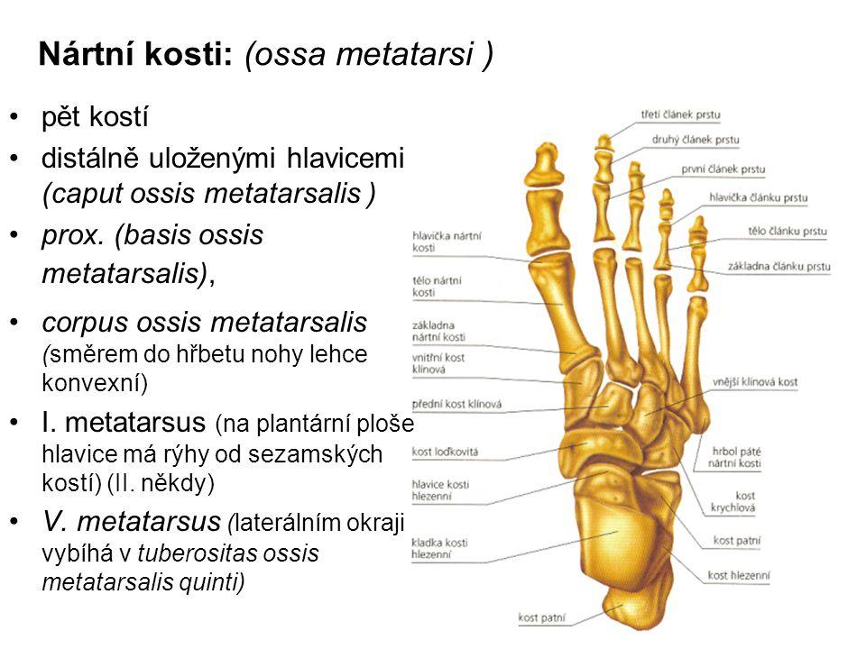 Nártní kosti: (ossa metatarsi ) pět kostí distálně uloženými hlavicemi (caput ossis metatarsalis ) prox. (basis ossis metatarsalis), corpus ossis meta