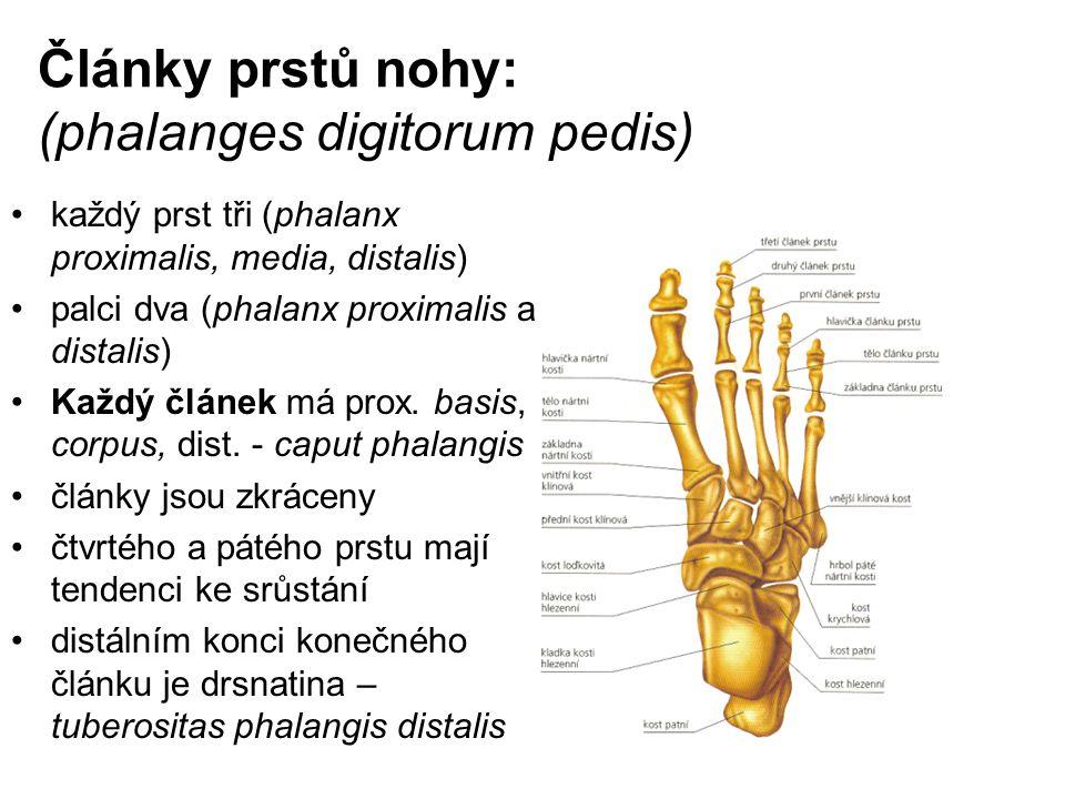 Články prstů nohy: (phalanges digitorum pedis) každý prst tři (phalanx proximalis, media, distalis) palci dva (phalanx proximalis a distalis) Každý čl