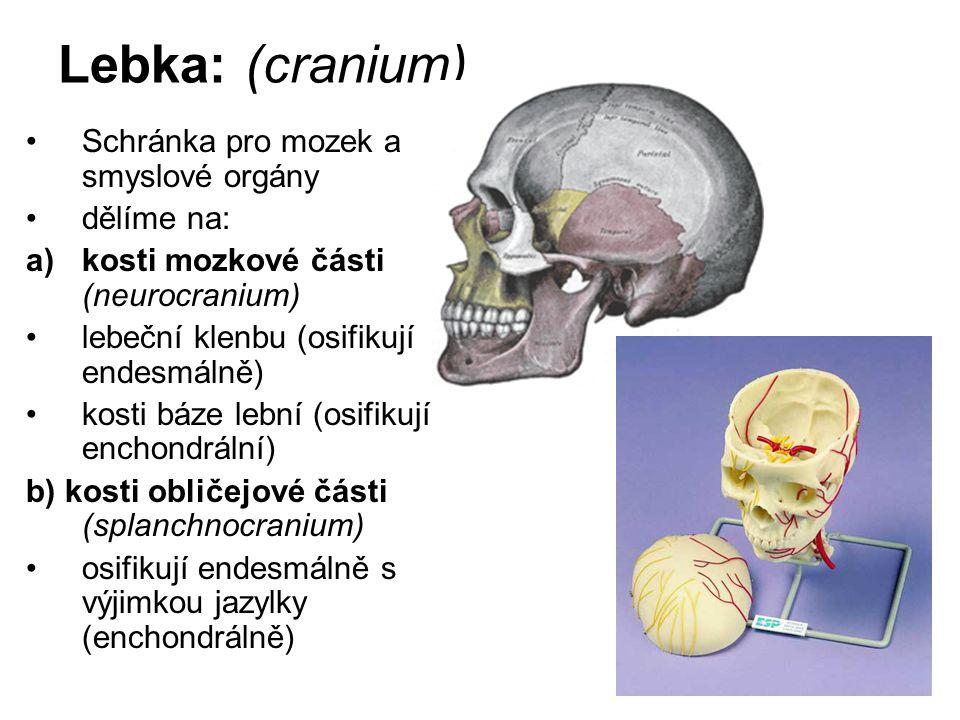 Lebka: (cranium) Schránka pro mozek a smyslové orgány dělíme na: a)kosti mozkové části (neurocranium) lebeční klenbu (osifikují endesmálně) kosti báze