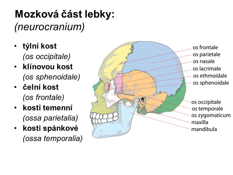 Mozková část lebky: (neurocranium) týlní kost (os occipitale) klínovou kost (os sphenoidale) čelní kost (os frontale) kosti temenní (ossa parietalia)
