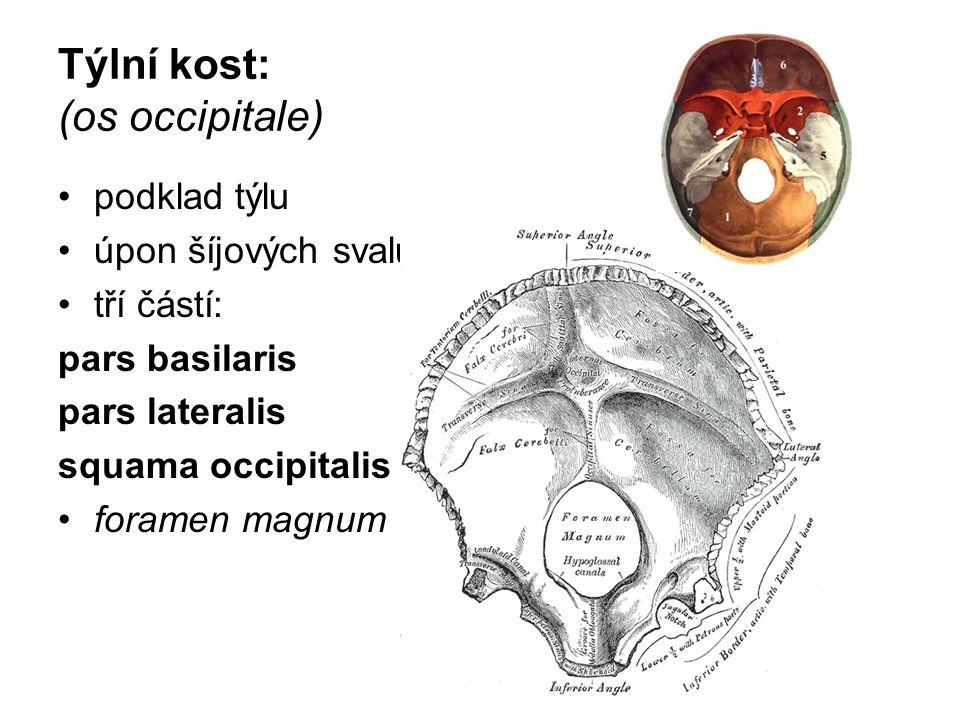 Týlní kost: (os occipitale) podklad týlu úpon šíjových svalů. tří částí: pars basilaris pars lateralis squama occipitalis foramen magnum