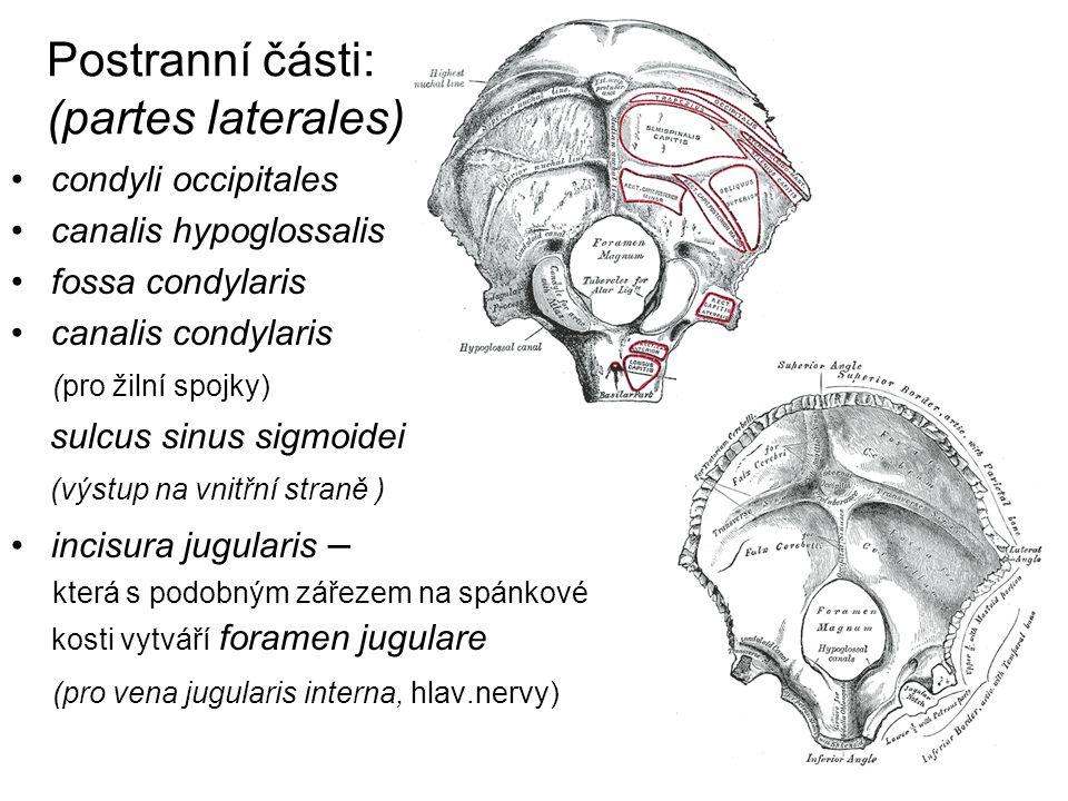 Postranní části: (partes laterales) condyli occipitales canalis hypoglossalis fossa condylaris canalis condylaris (pro žilní spojky) sulcus sinus sigm