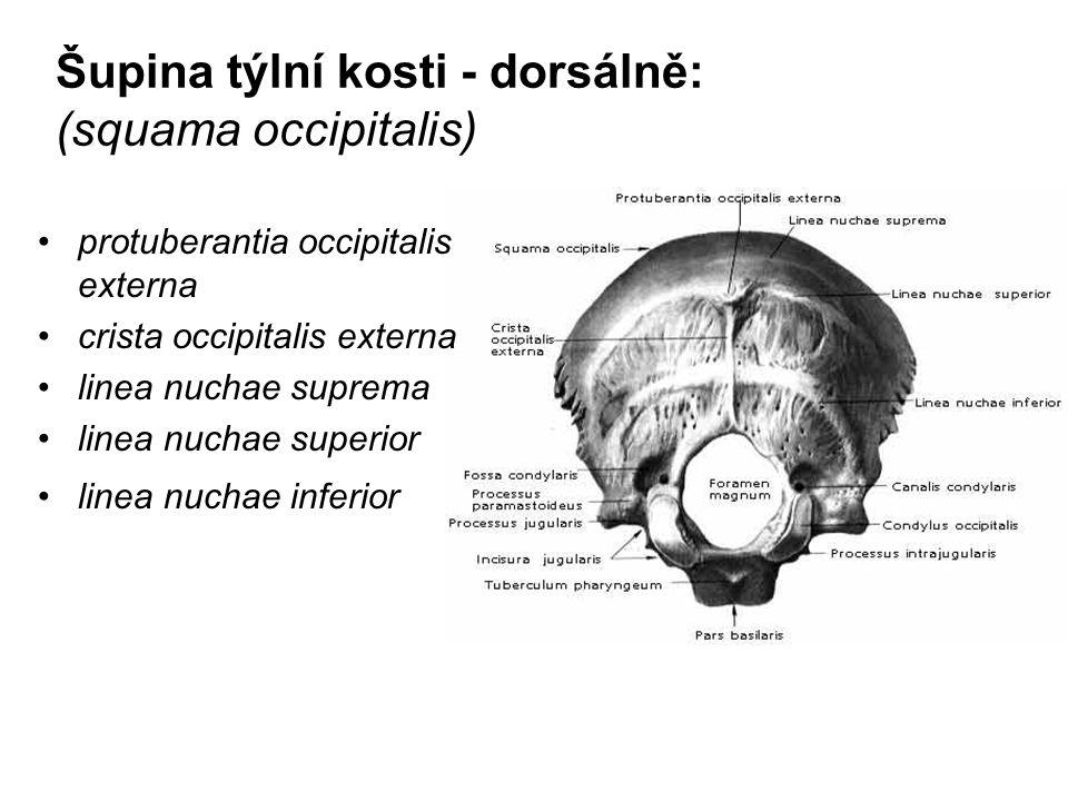 Šupina týlní kosti - dorsálně: (squama occipitalis) protuberantia occipitalis externa crista occipitalis externa linea nuchae suprema linea nuchae sup