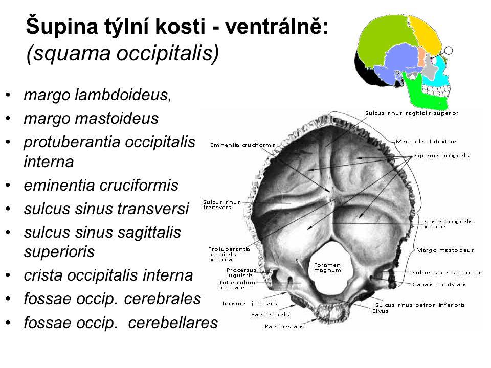 Šupina týlní kosti - ventrálně: (squama occipitalis) margo lambdoideus, margo mastoideus protuberantia occipitalis interna eminentia cruciformis sulcu