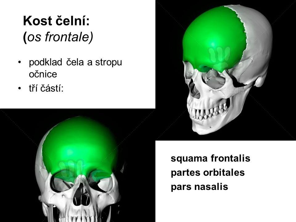 Kost čelní: (os frontale) podklad čela a stropu očnice tří částí: squama frontalis partes orbitales pars nasalis