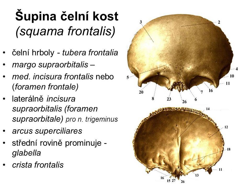 Šupina čelní kosti: (squama frontalis) čelní hrboly - tubera frontalia margo supraorbitalis – med. incisura frontalis nebo (foramen frontale) lateráln
