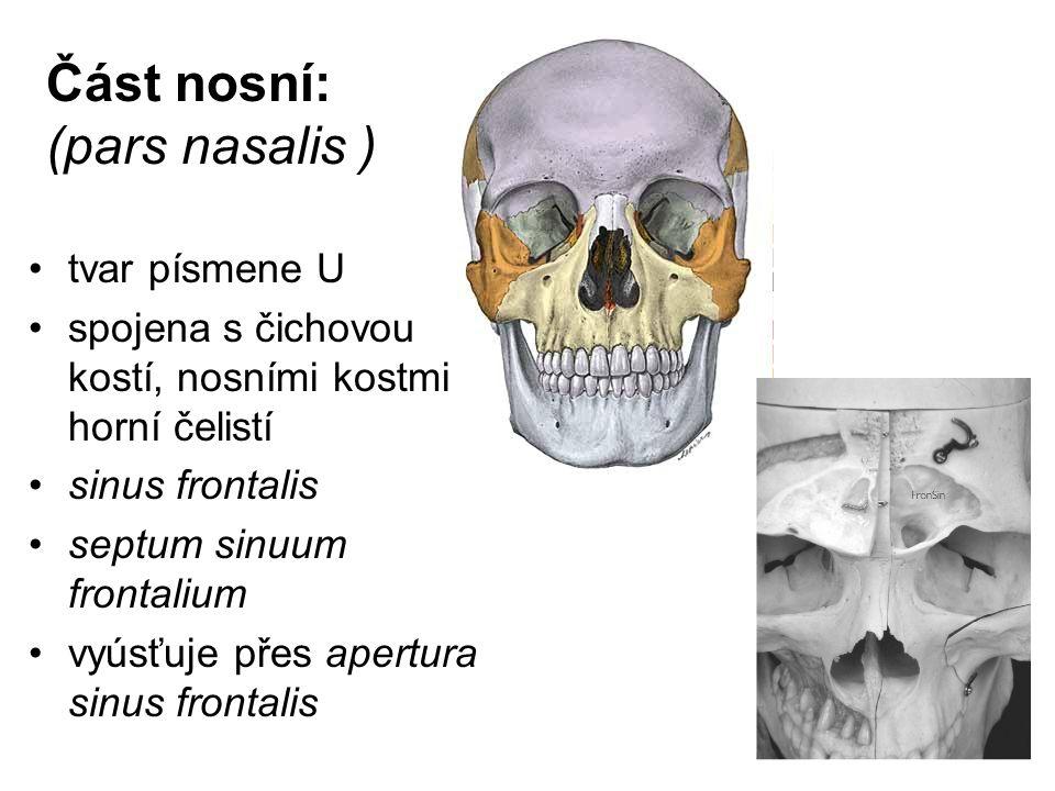 Část nosní: (pars nasalis ) tvar písmene U spojena s čichovou kostí, nosními kostmi a horní čelistí sinus frontalis septum sinuum frontalium vyúsťuje