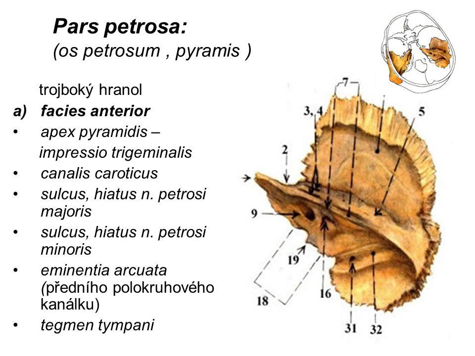 Pars petrosa: (os petrosum, pyramis ) trojboký hranol a)facies anterior apex pyramidis – impressio trigeminalis canalis caroticus sulcus, hiatus n. pe