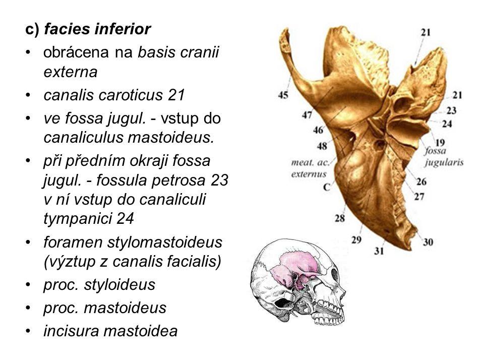 c) facies inferior obrácena na basis cranii externa canalis caroticus 21 ve fossa jugul. - vstup do canaliculus mastoideus. při předním okraji fossa j