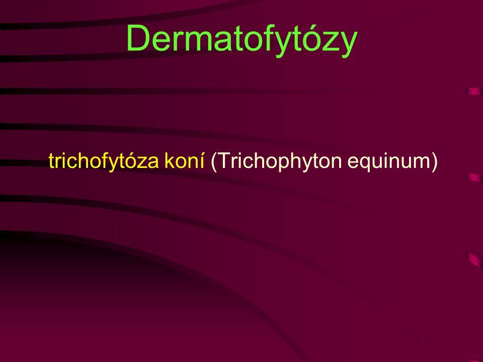 Dermatofytózy trichofytóza koní (Trichophyton equinum)