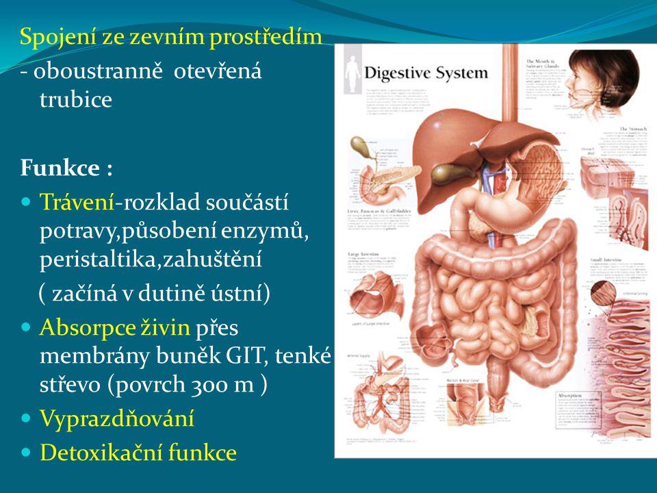 Spojení ze zevním prostředím - oboustranně otevřená trubice Funkce : Trávení-rozklad součástí potravy,působení enzymů, peristaltika,zahuštění ( začíná