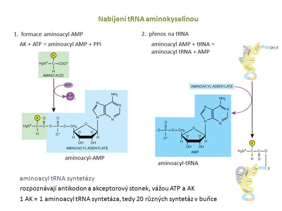 Nabíjení tRNA aminokyselinou 1.formace aminoacyl AMP 2.