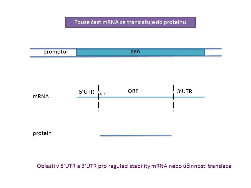 gen promotor 5'UTR 3'UTR ORF ATG mRNA protein Pouze část mRNA se translatuje do proteinu Oblasti v 5'UTR a 3'UTR pro regulaci stability mRNA nebo účinnosti translace