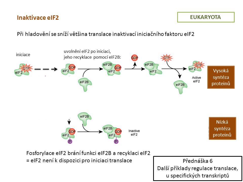 EUKARYOTA Inaktivace eIF2 Při hladovění se sníží většina translace inaktivací iniciačního faktoru eIF2 iniciace uvolnění eIF2 po iniciaci, jeho recyklace pomocí eIF2B: Vysoká syntéza proteinů Nízká syntéza proteinů Fosforylace eIF2 brání funkci eIF2B a recyklaci eIF2 = eIF2 není k dispozici pro iniciaci translace Forsforylace eIF2 Přednáška 6 Další příklady regulace translace, u specifických transkriptů