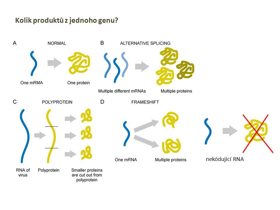 Kolik produktů z jednoho genu? nekódující RNA