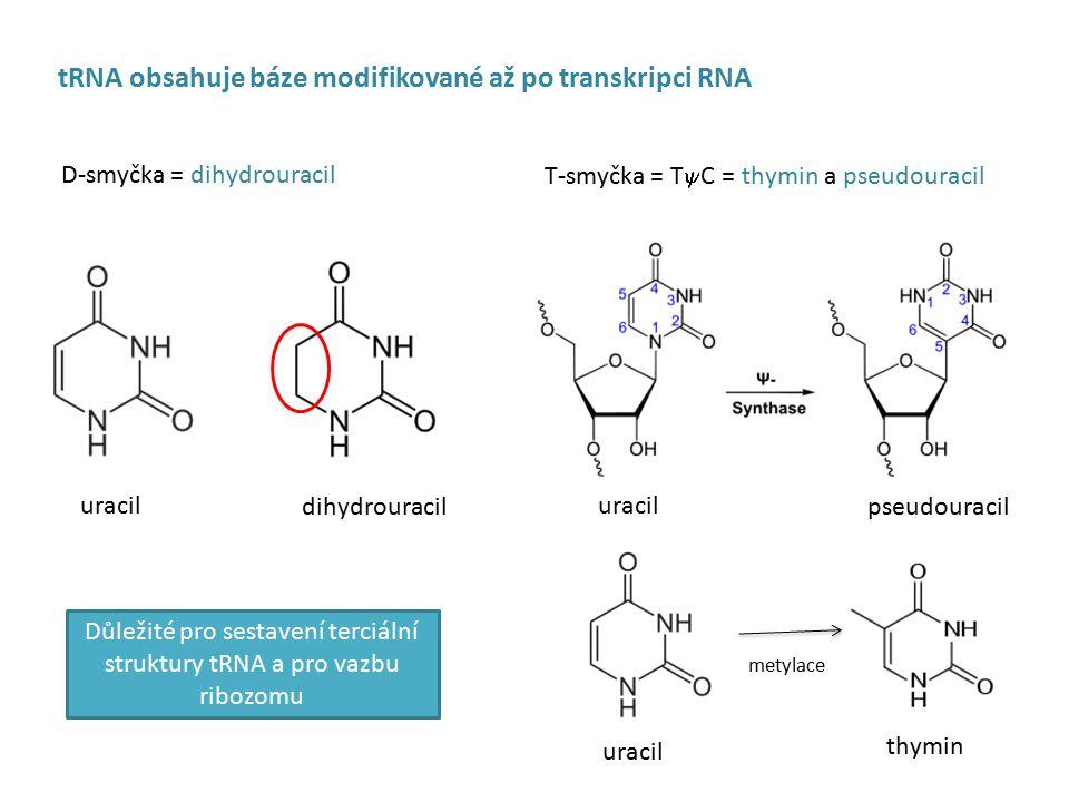 Terminace translace  místo dvou uvolňovacích faktorů (RF1 a 2) rozeznává eRF1 všechny tři kodony  terminace vyžaduje GTP (hydrolyzovaný pomocí eRF3)  uvolnění velké podjednotky pomocí eIF3, uvolnění malé podjednotky a mRNA I R E S (internal ribosome entry site)  několik výjimek u eukaryot a virů, kde ribozom nasedá přímo uvnitř mRNA, ne na čepičku