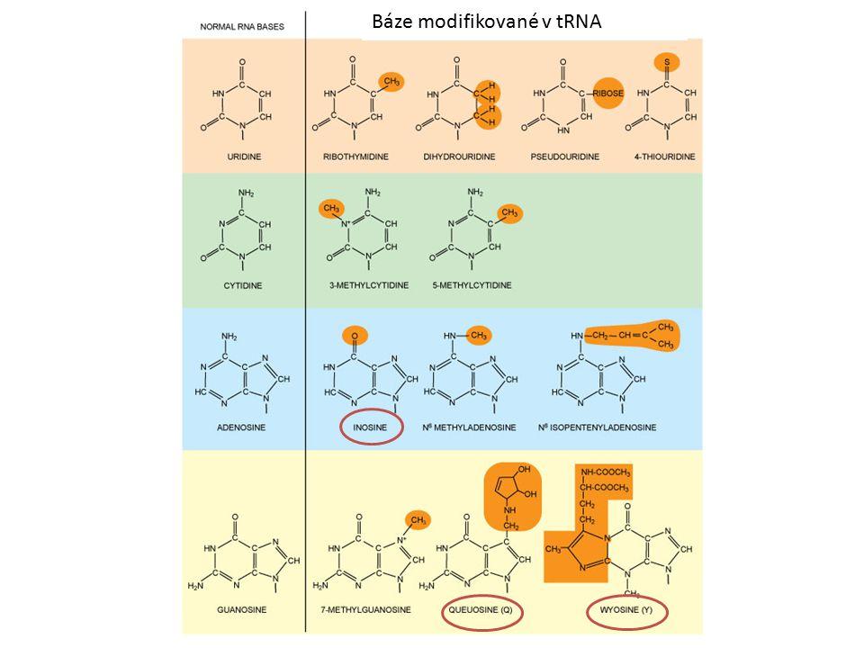 Antikodon v tRNA rozeznává kodon v mRNA 1 tRNA = 1 aminokyselina párování přes vodíkové můstky