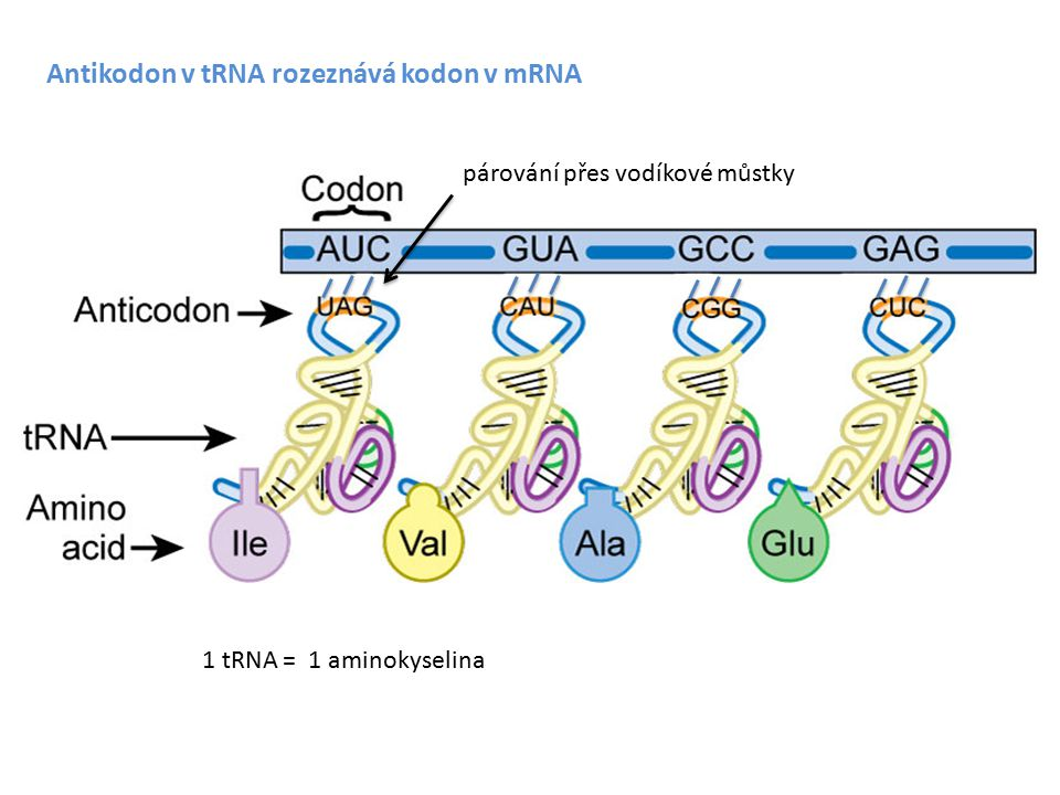 Místo nasednutí ribozomu Shine Dalgarno sekvence na mRNA (aneb ribosome binding site = RBS) anti Shine Dalgarno sekvence na 16S rRNA (malá podjednotka) PROKARYOTA Přesné párování - vysoká účinnost translace Nepřesné párování – nižší účinnost translace