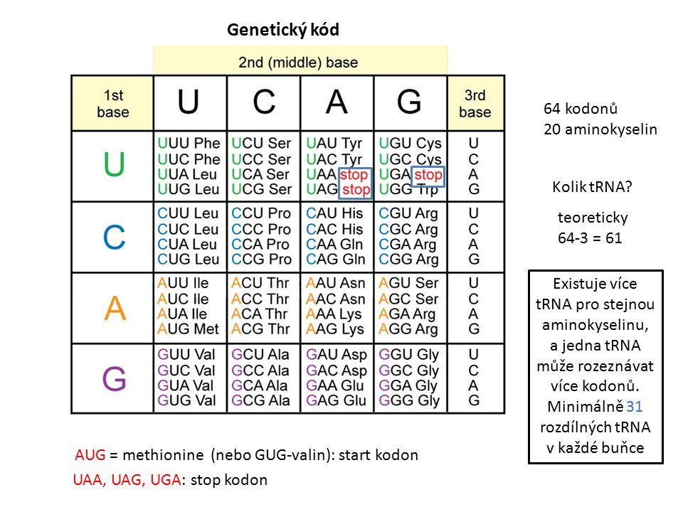 Genetický kód 64 kodonů 20 aminokyselin AUG = methionine (nebo GUG-valin): start kodon UAA, UAG, UGA: stop kodon Existuje více tRNA pro stejnou aminokyselinu, a jedna tRNA může rozeznávat více kodonů.