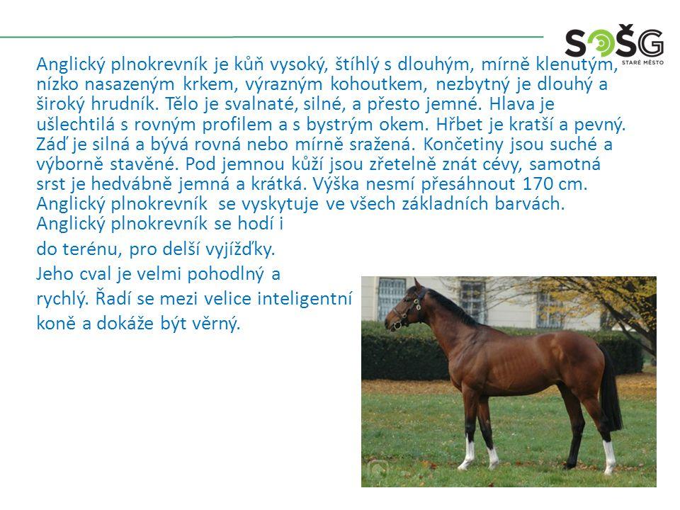 Anglický plnokrevník je kůň vysoký, štíhlý s dlouhým, mírně klenutým, nízko nasazeným krkem, výrazným kohoutkem, nezbytný je dlouhý a široký hrudník.