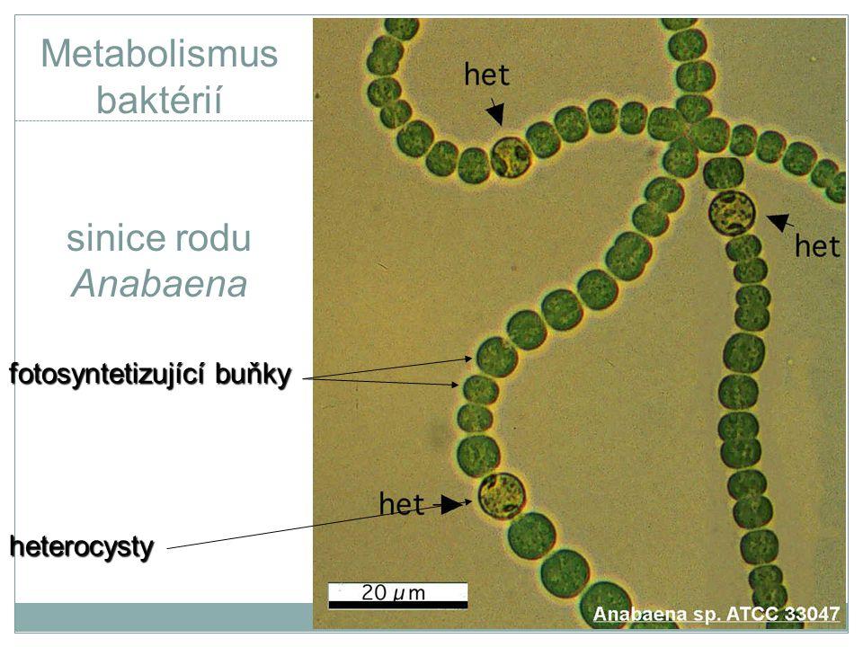 Metabolismus baktérií sinice rodu Anabaena fotosyntetizující buňky heterocysty