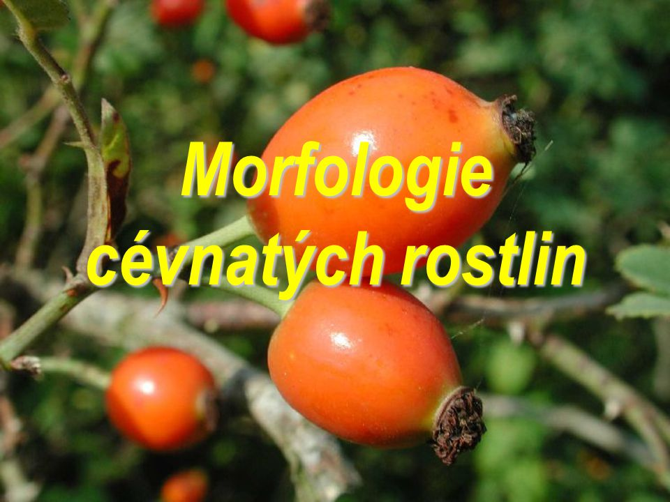 Morfologie  i když zastíněna, znovu získává význam – renesance  data pro tradiční i moderní a aplikované obory  různé vymezení a chápání *popisná (Linné) *srovnávací (komparativní, Goethe) - stanovila základní orgány rostlin jistý úpadek již na konci 19.
