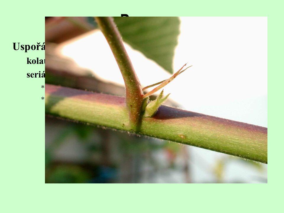 Uspořádání přídatných pupenů kolaterální (Liliopsida, Allium) seriální (Rosopsida)  sestupné (první, nejstarší, je nejvýše – Rubus, Nicotiana)  vzes