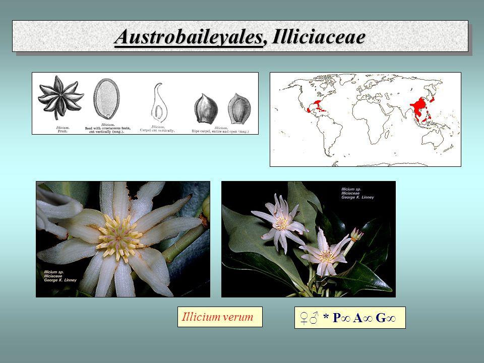 Austrobaileyales, Illiciaceae ♀♂ * P∞ A∞ G∞ Illicium verum