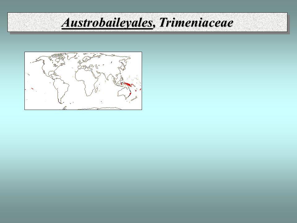 Austrobaileyales, Trimeniaceae