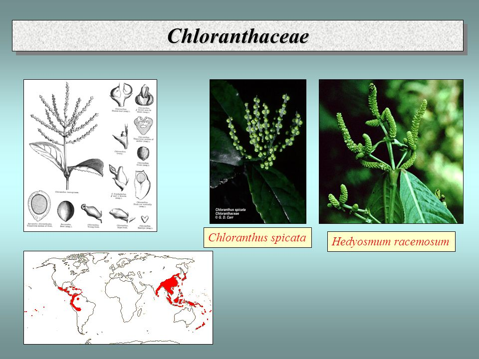 ChloranthaceaeChloranthaceae Chloranthus spicata Hedyosmum racemosum