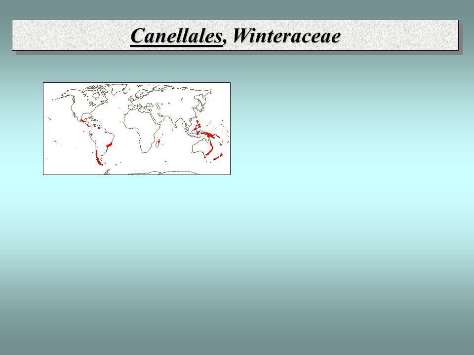 Canellales, Winteraceae