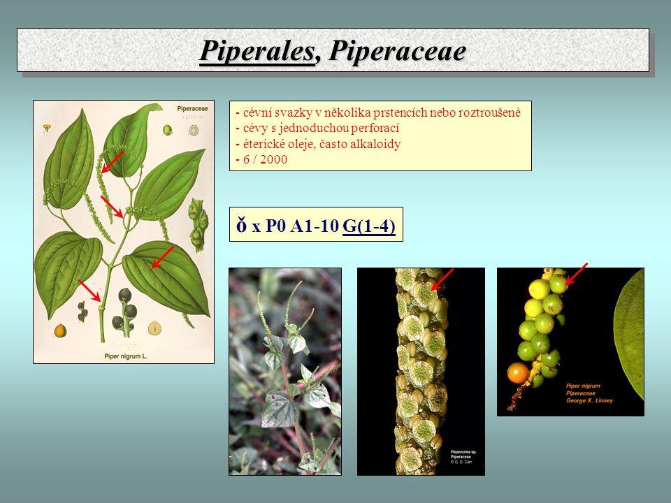 Piperales, Piperaceae - cévní svazky v několika prstencích nebo roztroušené - cévy s jednoduchou perforací - éterické oleje, často alkaloidy - 6 / 200
