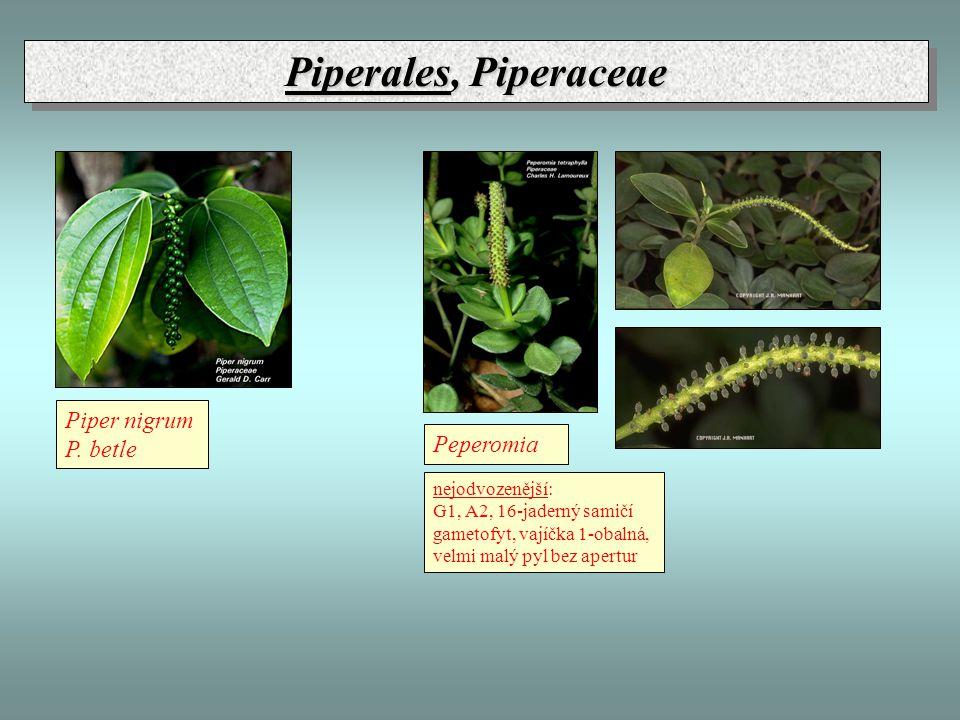 Piperales, Piperaceae Piper nigrum P. betle Peperomia nejodvozenější: G1, A2, 16-jaderný samičí gametofyt, vajíčka 1-obalná, velmi malý pyl bez apertu