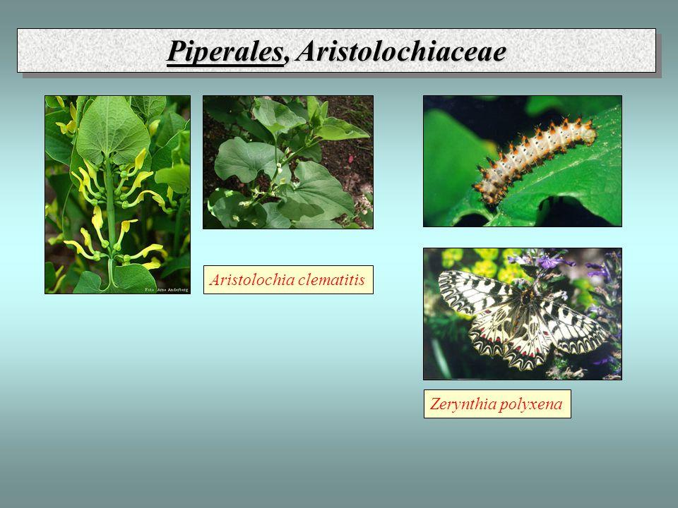 Piperales, Aristolochiaceae Aristolochia clematitis Zerynthia polyxena