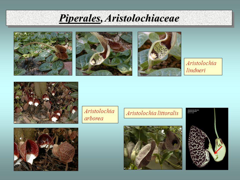 Piperales, Aristolochiaceae Aristolochia lindneri Aristolochia littoralis Aristolochia arborea