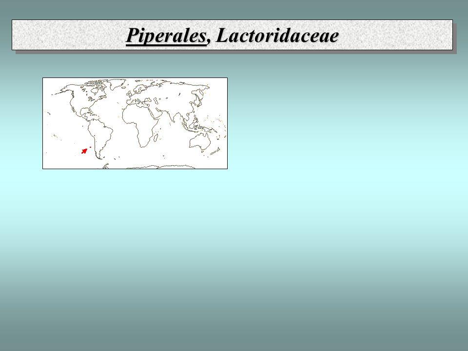 Piperales, Lactoridaceae