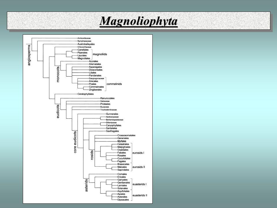 MagnoliophytaMagnoliophyta