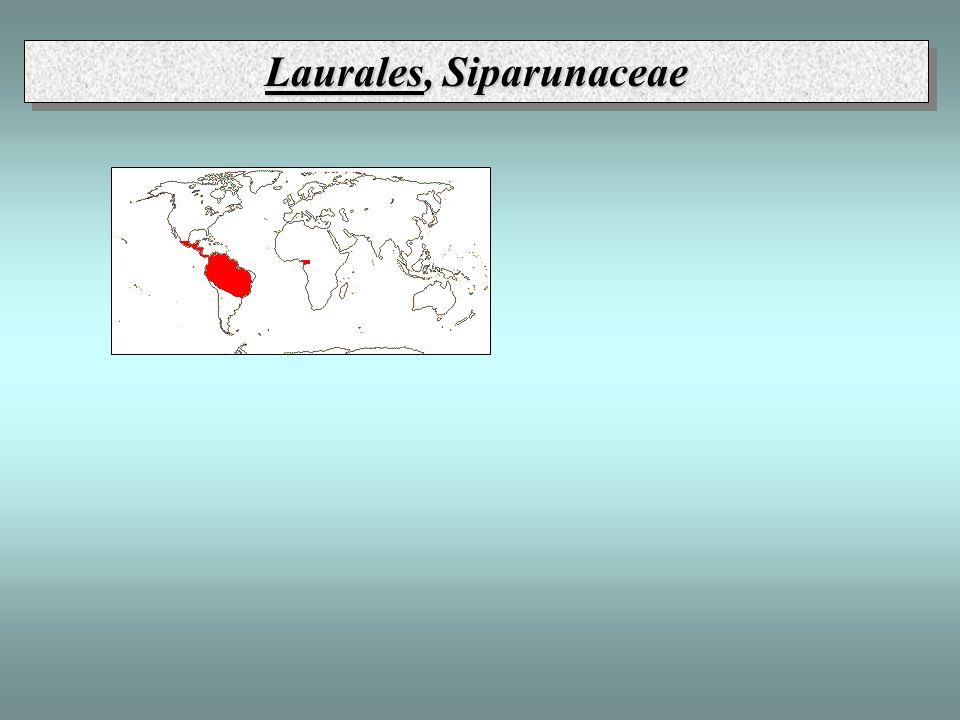 Laurales, Siparunaceae