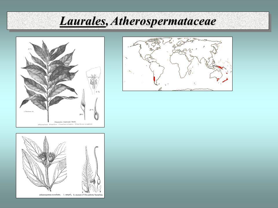 Laurales, Atherospermataceae