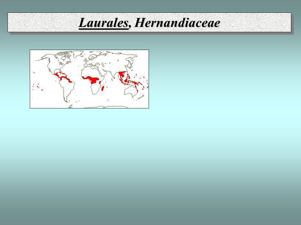 Laurales, Hernandiaceae
