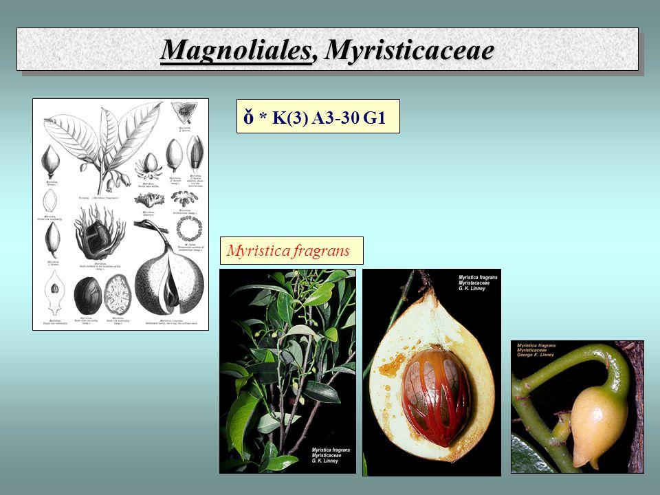 Magnoliales, Myristicaceae Myristica fragrans ǒ * K(3) A3-30 G1