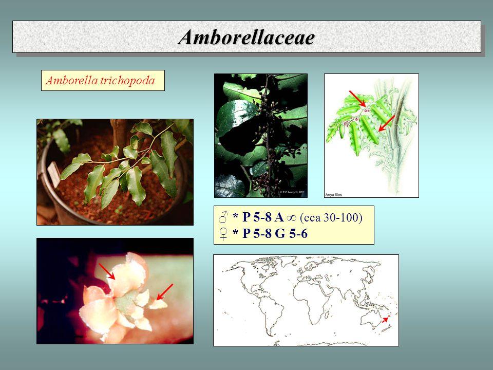 Laurales, Lauraceae ǒ * P(6 A3-12 G1 - alkaloidy benzyl-izochinolinového typu, éterické oleje, taniny - pyl často dimorfní, bez apertur, s osténky - velké dělohy (chybí endosperm)